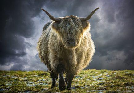 Scotland-Holiday-Highland-cow